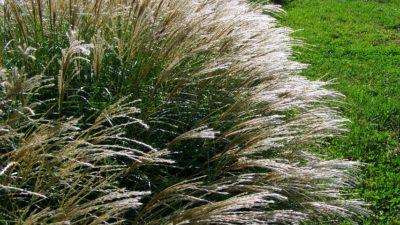 Okrasné traviny